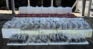 香港海關檢獲懷疑走私屬瀕危物種龍吐珠魚及石珊瑚