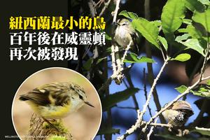 紐西蘭最小的鳥 百年後在威靈頓再次被發現
