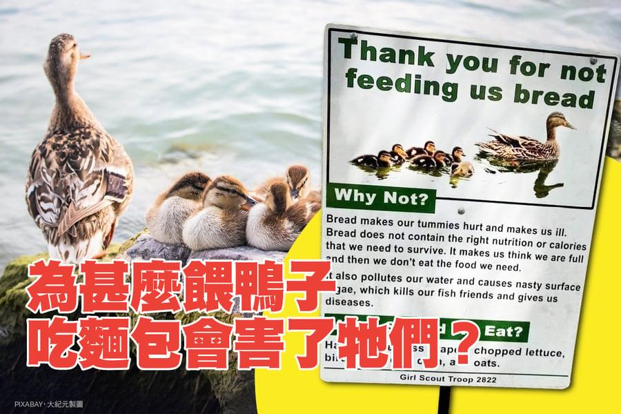 為甚麼餵鴨子吃麵包會害了牠們?