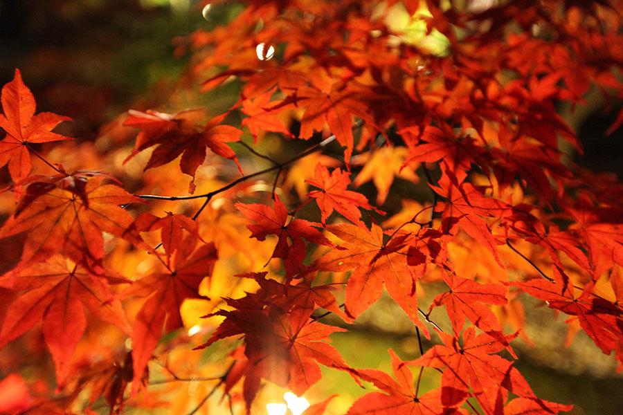 旅遊網站TripAdvisor遴選出日本十大最佳賞楓地點,其中以京都市名列第一。(張榮祥/中央社)