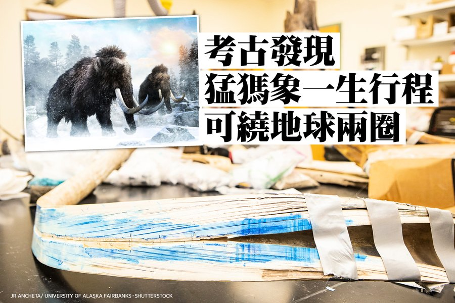 考古發現猛獁象一生行程可繞地球兩圈