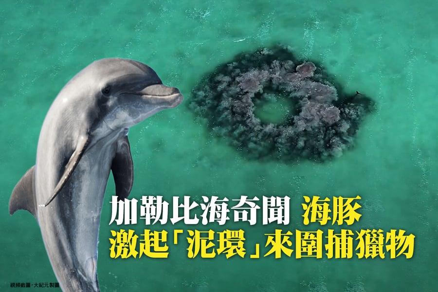 加勒比海奇聞 海豚激起「泥環」來圍捕獵物