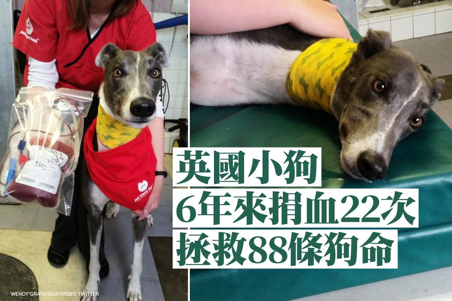 英國小狗6年來捐血22次 拯救88條狗命
