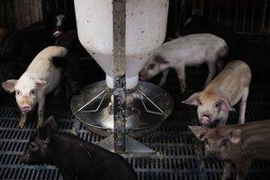 【本港首例】小西灣野豬屍體驗出非洲豬瘟  漁護署:目前無豬場受影響