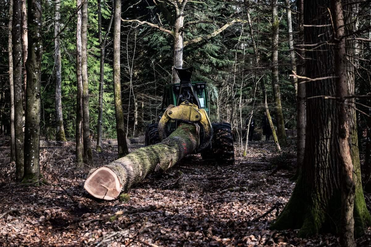 法國橡樹用途廣泛,但過度出口原木已影響本國木材加工等下游行業。圖為法國橡木林和被伐下的橡木,攝於2021年3月15日。(Martin Bureau/AFP/Getty Images)