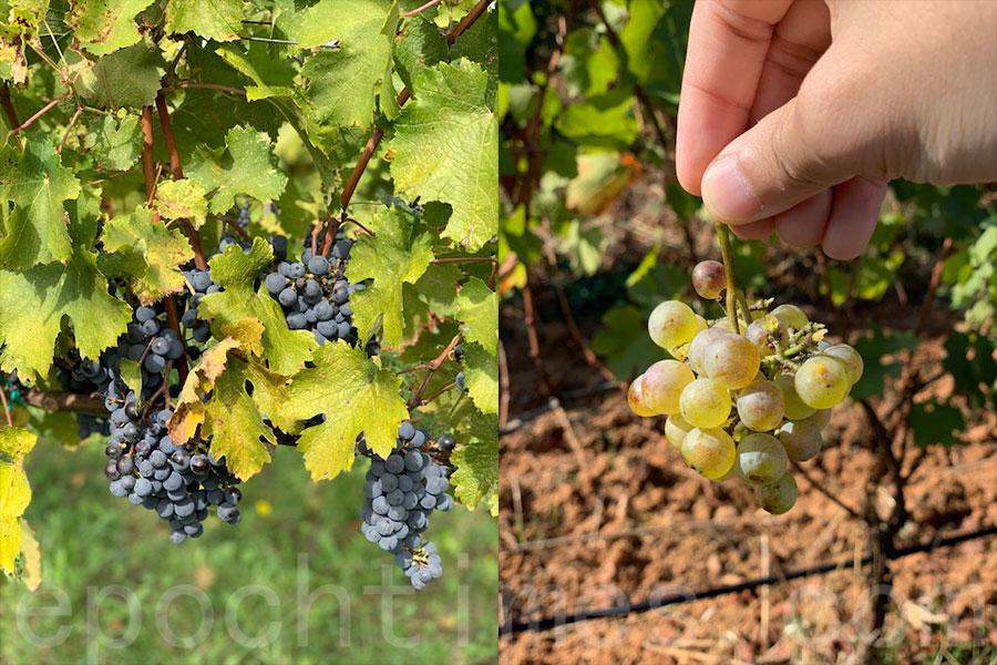 從一顆顆晶瑩剔透的葡萄到釀造成一箱箱美酒,走訪意大利鄉村酒莊的過程令William大開眼界。(受訪者提供)