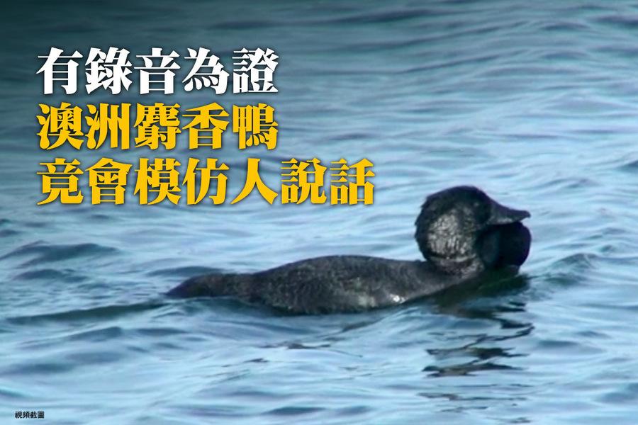 有錄音為證 澳洲麝香鴨竟會模仿人說話