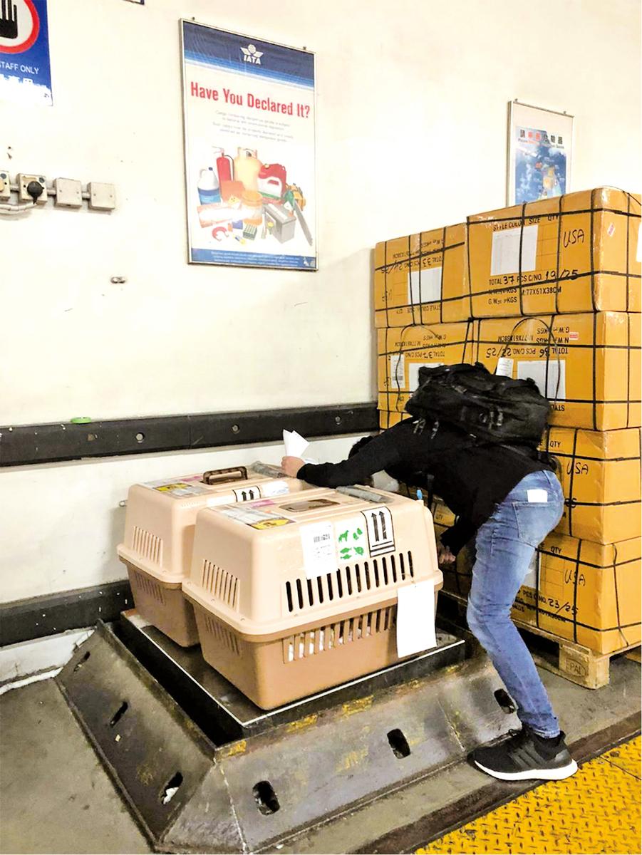 一般民航機的寵物要求以「飛機籠」運載,並像行李般寄放在倉內。圖為3隻愛貓寄倉前,L先生上前進行最後檢查。(受訪者提供)