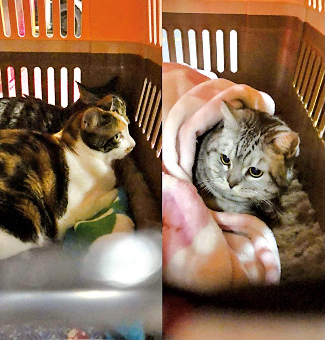 三隻貓分開兩個「飛機籠」寄艙前往英國,包括兩隻花貓和1隻英國短毛貓。(受訪者提供)