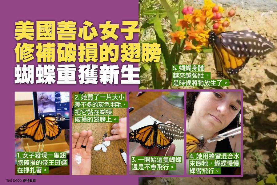 美國善心女子修補破損的翅膀 蝴蝶重獲新生