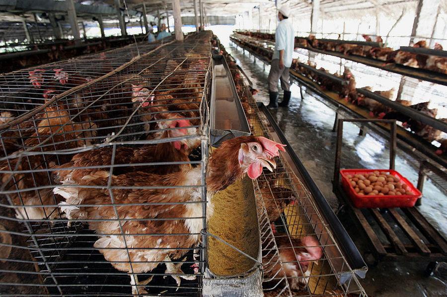 越南廣治省爆H5N8禽流感  食安中心宣布暫停進口該地區進口家禽