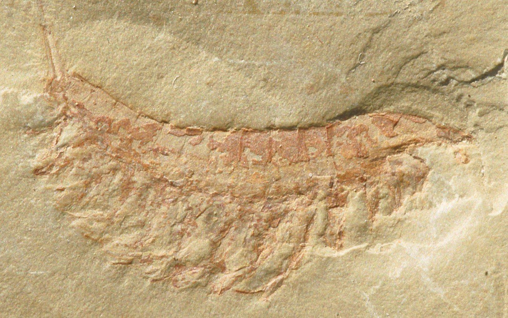 澄江發現的林橋利蟲。(維基百科)