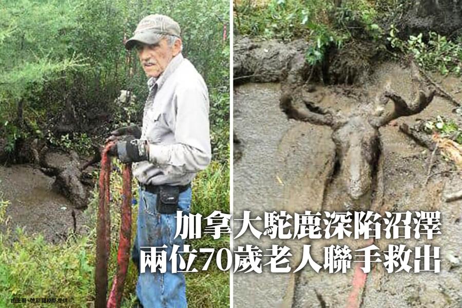 加拿大駝鹿深陷沼澤 兩位70歲老人聯手救出