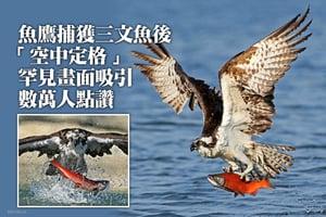 魚鷹捕獲三文魚後「空中定格」罕見畫面吸引數萬人點讚