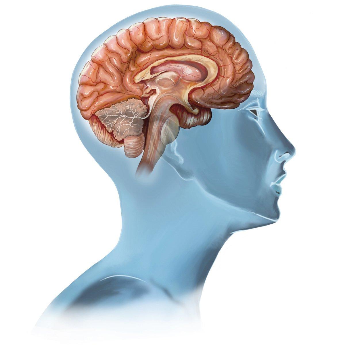 大腦結構(fotolia)