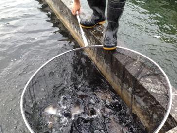 香港共有16個有機漁場,本地有機魚產量每年有兩萬多條。(香港有機資源中心提供)