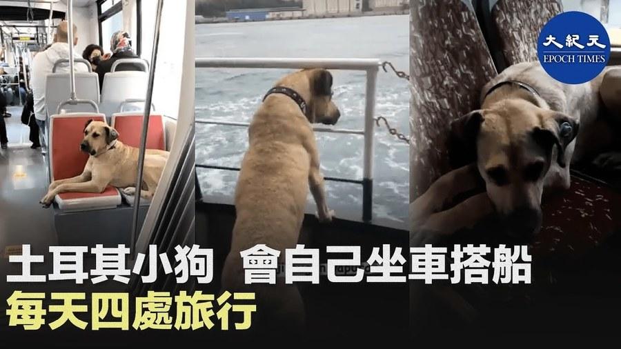 土耳其小狗會自己坐車搭船 每天四處旅行