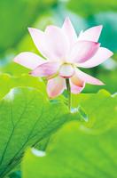 有一種花 可以解鄉愁