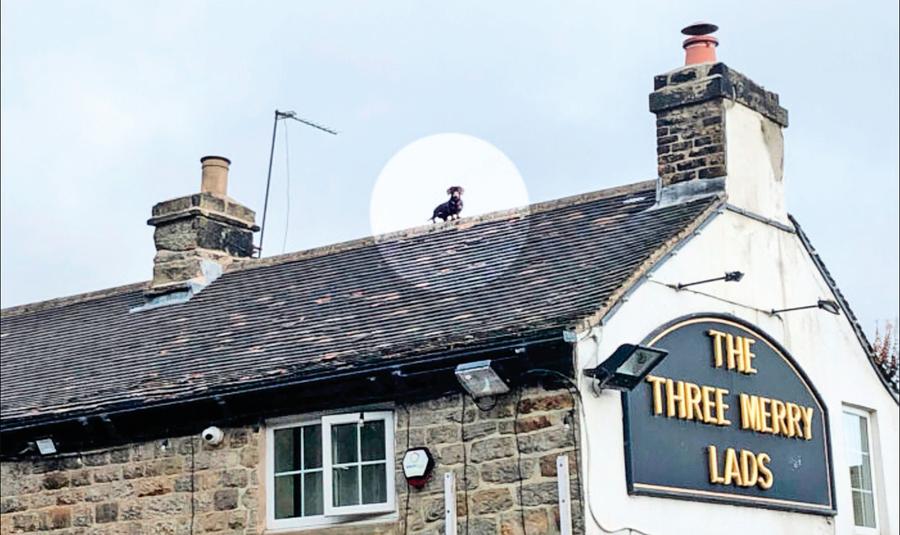臘腸犬現身屋頂 轟動英國成網紅
