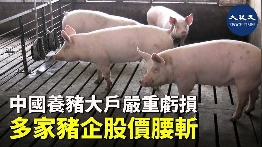 中國養豬大戶嚴重虧損 多家豬企股價腰斬