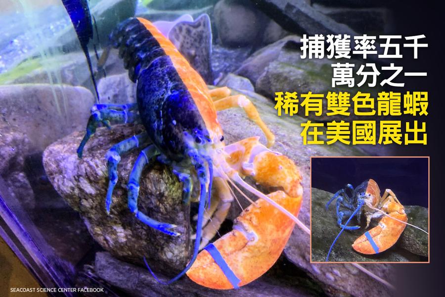 捕獲率五千萬分之一 稀有雙色龍蝦在美國展出