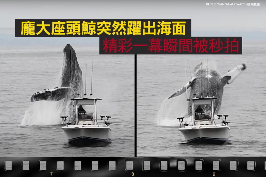 龐大座頭鯨突然躍出海面 精彩一幕瞬間被秒拍