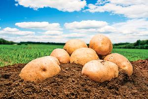 平凡的馬鈴薯  每天吃一個讓你老得慢!