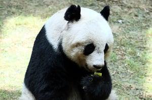 大熊貓佳佳安樂死 終年38歲