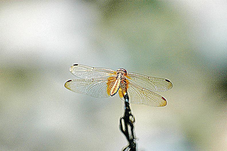 蜻蜓晶瑩剔透的薄翼從何而來,一直是進化論的難解謎團。(王仁駿/大紀元)