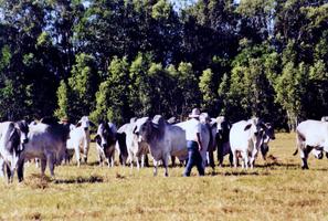 四大家族聯手競購 中資收購澳牧場遇勁敵