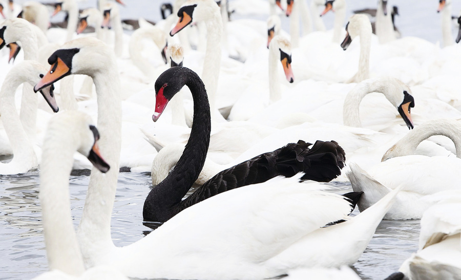 中國的和世界的黑天鵝事件(上)