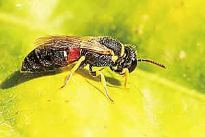 美7種蜜蜂列瀕危 亂夏威夷生態平衡