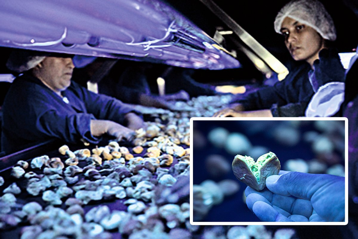 經驗豐富的測試員每2小時輪班為每一粒無花果做黃麴毒檢測。