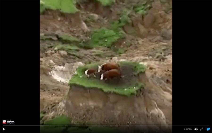 3頭牛在山崩地裂時逃過一劫,但受困宛如孤島的草地。(視像擷圖)