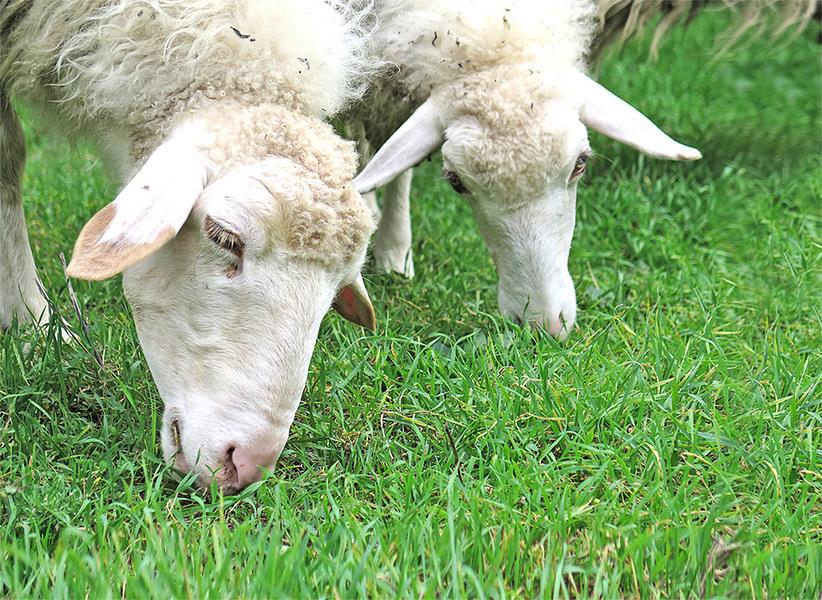 吃羊肉 補肌肉