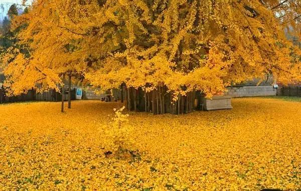 為觀賞唐太宗所栽銀杏 每日十萬人擠破古寺