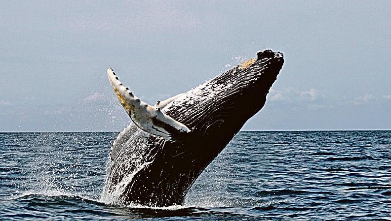鯨魚能發出一種神秘低音可遠播200米
