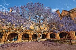 澳洲藍花楹 春樹如紫雲