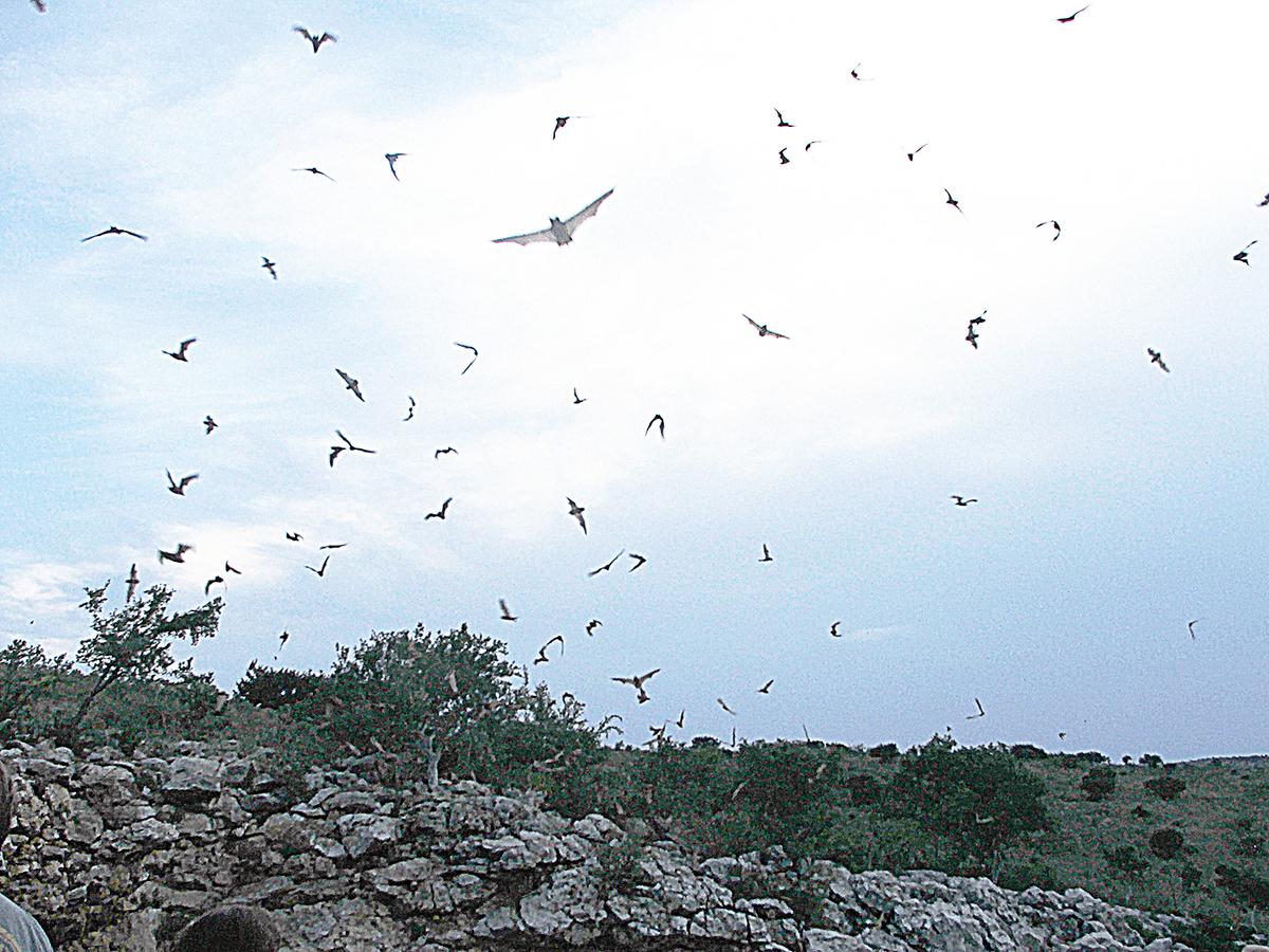 巴西遊離尾蝠在黃昏時分出沒。(維基百科)
