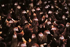南韓多事之秋 H5N6禽流感又擴散