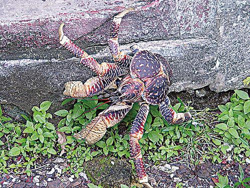 椰子蟹。 (維基百科)