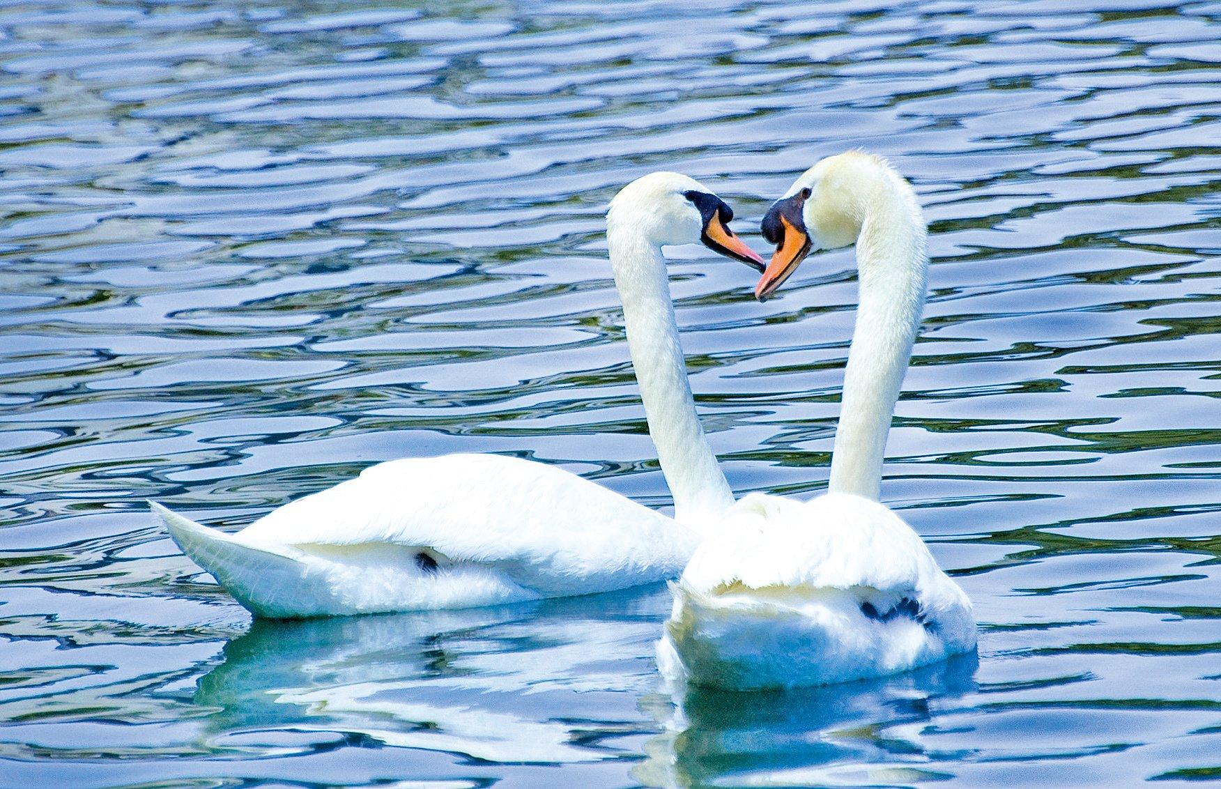 歐拉湖上天鵝卿卿我我,逍遙自在。(徐明/大紀元)