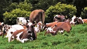 花斑牛助減排德國大力推廣