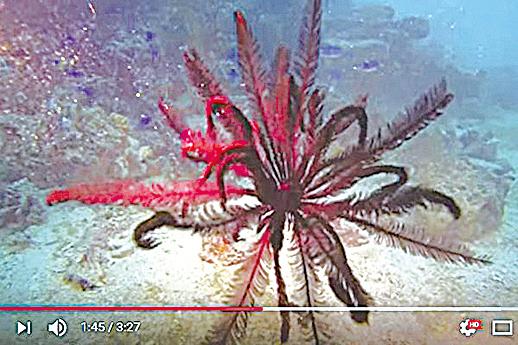 海百合能藉由多條腕足的捲曲與移動來游泳。( 視頻擷圖)
