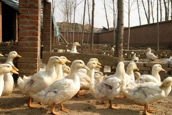 南韓近期發生高致病性禽流感疫情,導致1600萬隻家禽遭撲殺。(Getty Images)