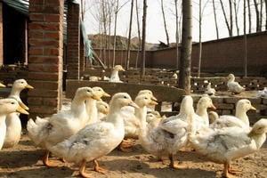 南韓撲殺千六萬隻家禽 發佈禽流感最高警報