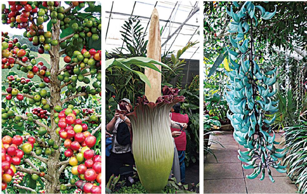 巨花魔芋(Titan Arum)也可以在這裏看到(中);原產於東非的阿拉比卡(Coffee Arabica)咖啡樹上掛滿了紅紅綠綠的果實(左);青藍色的翡翠葛(Jade Vine),又名綠玉籐,像一串串翡翠玉爪似的垂掛著(右)。(Eden Project)