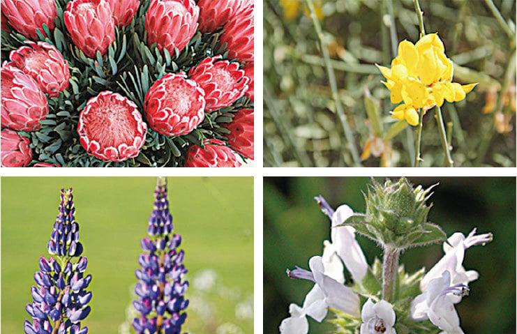 從左上角開始順時針:冰粉海神花(Protea Pink Ice)、西班牙金雀花(Spanish Broom)、羽扇豆花(Lupins)和鼠尾草(Spanish Sage)。(Eden Project)