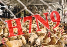 禽流感捲土重來? 大陸人類感染H7N9增加