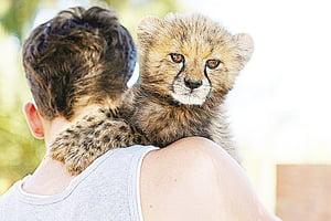 黑市有價有市陷瀕危全球獵豹僅剩7,100隻